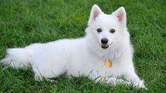 razas de perros americanos
