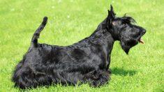 Una de las más interesantes razas de perros_ Scottish Terrier