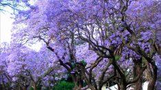 El árbol kiri es uno de los más bonitos del mundo