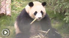 El zoológico salvaje de la meseta de Qinghai-Tíbet, en la provincia de Qinghai, noroeste de China, ha abierto sus puertas a cuatro nuevos pandas gigantes. Miles de personas se congregaron para acudir a observar a tan adorables animales.