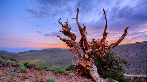 Hay árboles que tienen miles de años y han sobrevivido a todo tipo de problemas