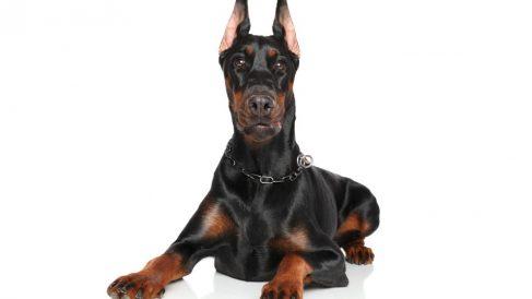 Razas de perros alemanes fuertes