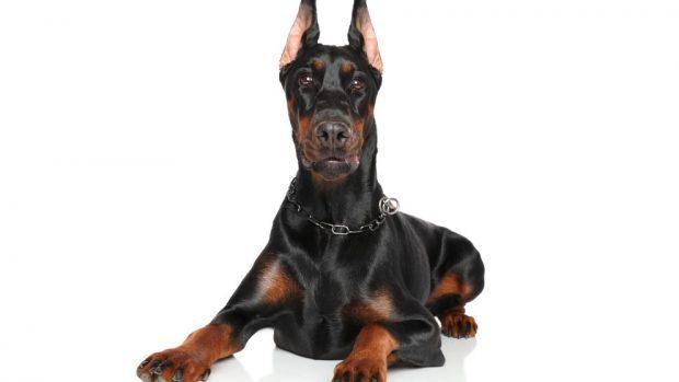 Perros alemanes fuertes