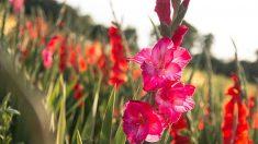Guía para saber cómo cultivar gladiolos paso a paso