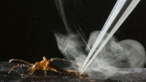 El escarabajo bombardero tiene un curioso método para librarse de sus depredadores
