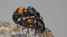 El escarabajo enterrador es uno de los pocos que no abandona a sus crías