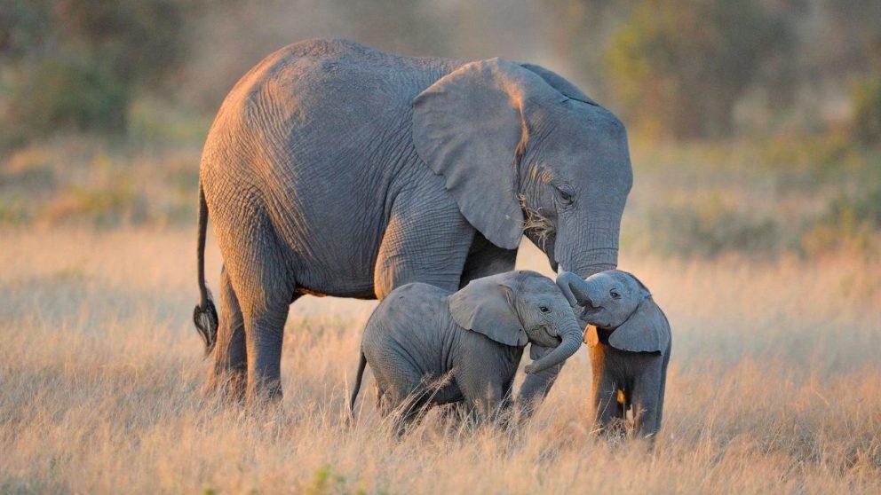 El peso de los elefantes puede variar mucho en función de su especie