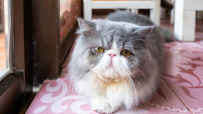 raza de gato Persa Gris