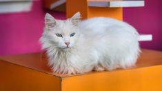 Cuáles son las razas de gatos de pelo largo