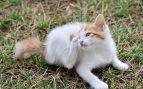 Garrapatas en los gatos