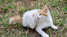 Cómo prevenir y eliminar las garrapatas en los gatos