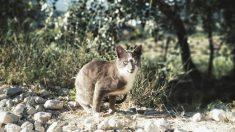 Los más conocidos tipos de gatos salvajes