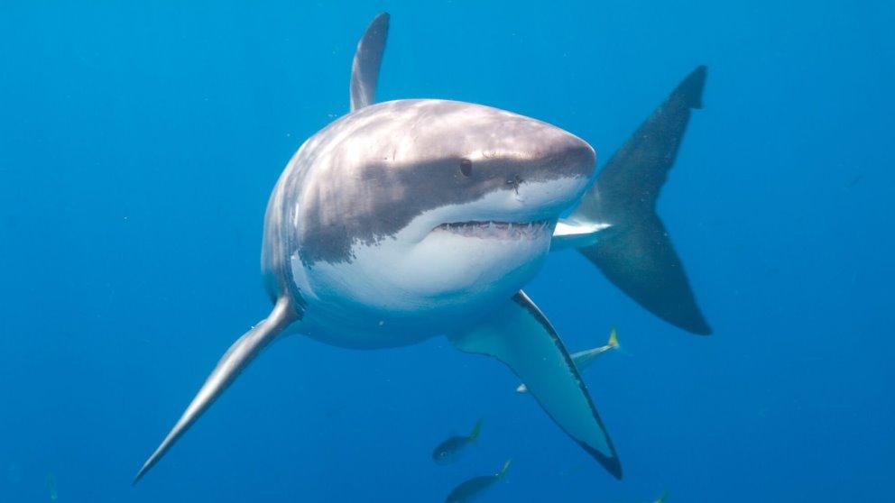 El tiburón blanco es uno de los animales más peligrosos