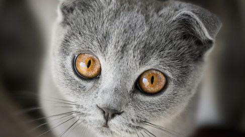 Cuál es el gato más raro