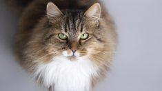 Razas exóticas: lo que necesitas saber sobre el gato siberiano (1)