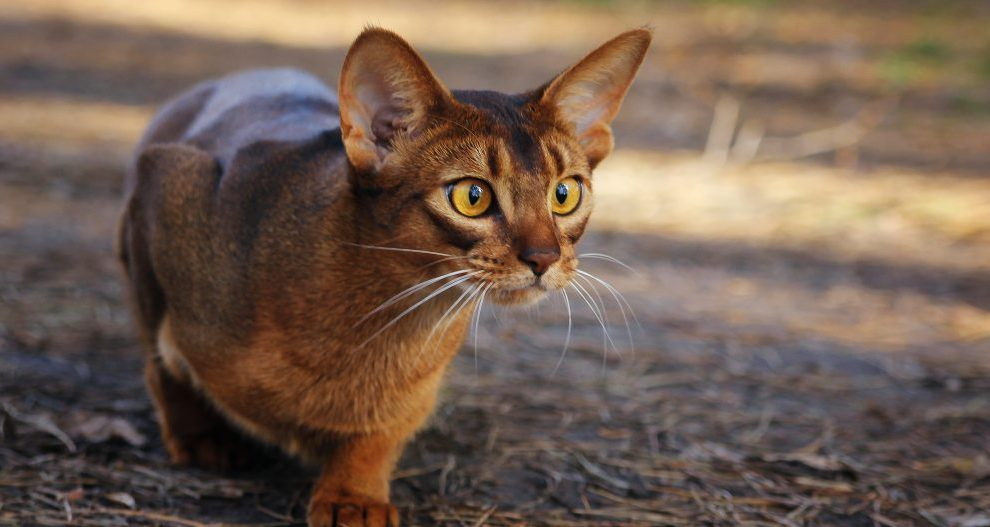Características del gato Abisinio