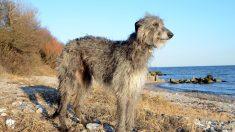 ¿Cómo es la raza de perros Lebrel Escocés?