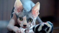 Tres razas de gatos sin pelo muy conocidas