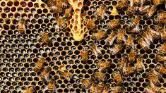 La desaparición de las abejas sería terrible por muchos motivos