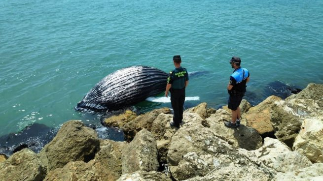 La cría de ballena hallada en Gandía. Foto: Europa Press