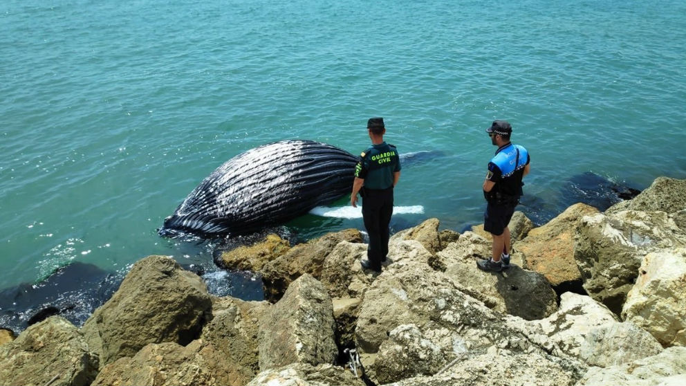 Cria de ballena en Gandia