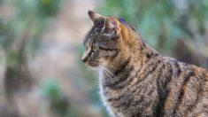 Características del gato europeo