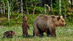 El oso pardo es el animal terrestre más grande