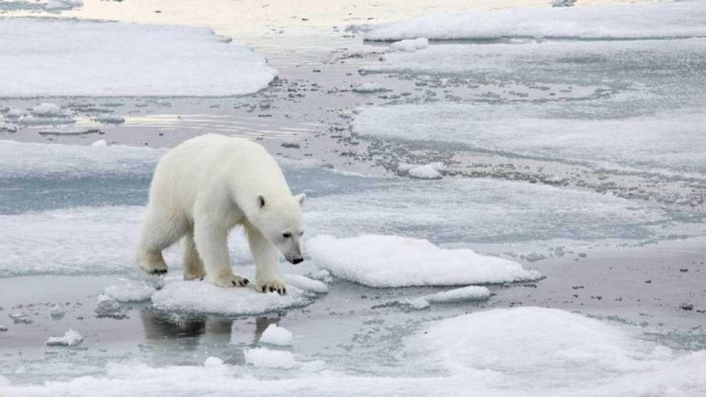 La población de osos polares desciende trágicamente en todo el mundo