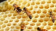 Hay diferentes tipos de reproducción en las abejas
