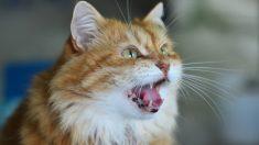 ¿Qué significan los sonidos de gatos?