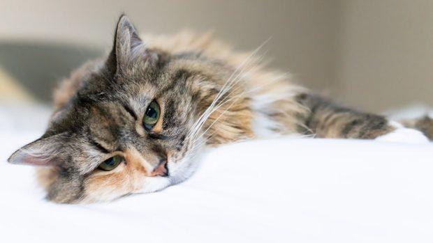 enfermedades más comunes de los gatos