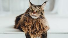 Información y características sobre la raza de gatos Maine Coon