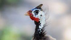 El pájaro africano tiene una habilidad para el canto diferente a lo habitual