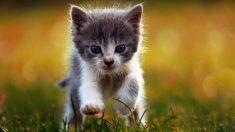 Cómo cuidar a un gato pequeño en casa