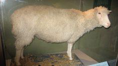 El 5 de julio de 1996 nace Dolly, la primera oveja clonada