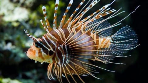 El pez león pone en grave riesgo la biodiversidad marina