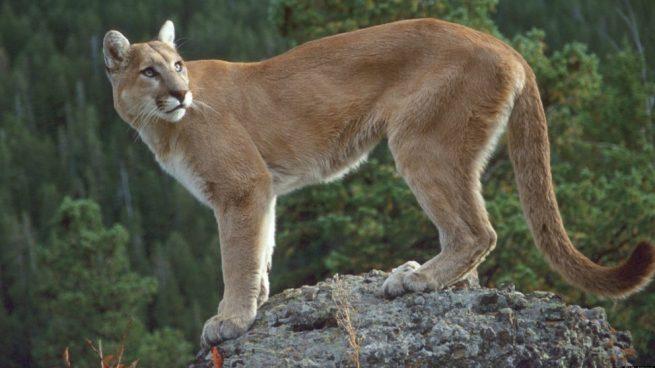 puma en peligro de extinción