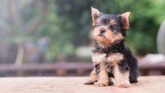 algunas bellas razas de perros que no dan alergia