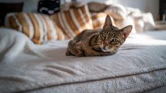 ¿Cómo es el bellísimo gato Ashera?