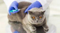 ¿Cuál es el calendario de vacunas para gatos?