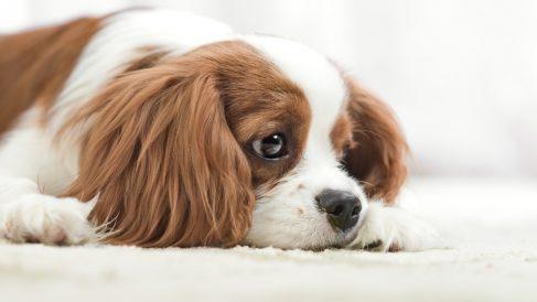 ¿Cómo detectar la fiebre en perros?