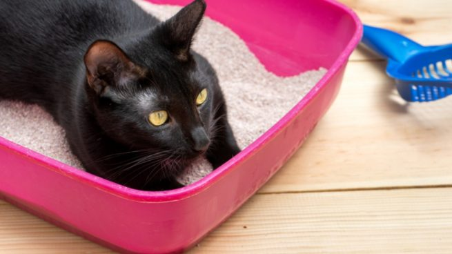 Pasos para hacer que el gato use la caja de arena