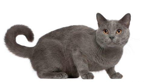 Características del  lo que necesitas saber sobre el gato cartujo o Chartreuxs