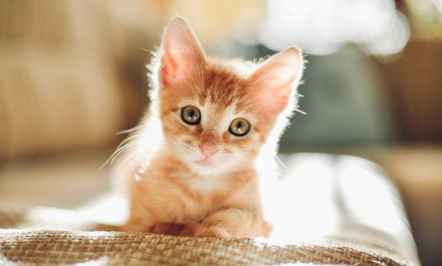 Todo Lo Que Necesitas Saber Sobre El Gato Naranja