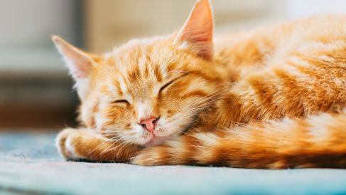 Características dell gato naranja