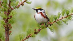 El canto de pájaro resulta muy agradable