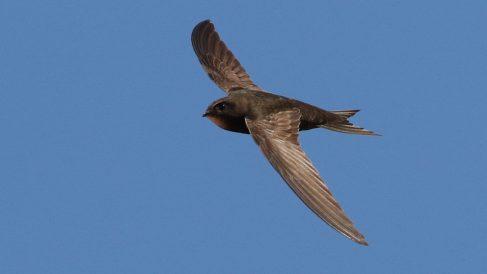 El pájaro vencejo no tiene un vuelo habitual en otros pájaros
