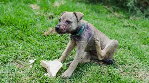 sintomas de la sarna en perros cachorros
