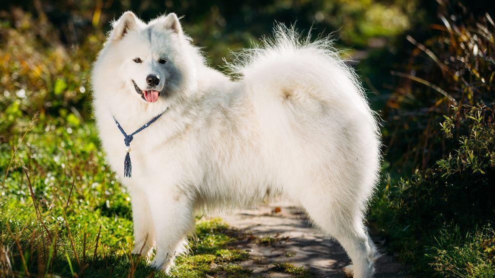 Razas perros caros: samoyedo
