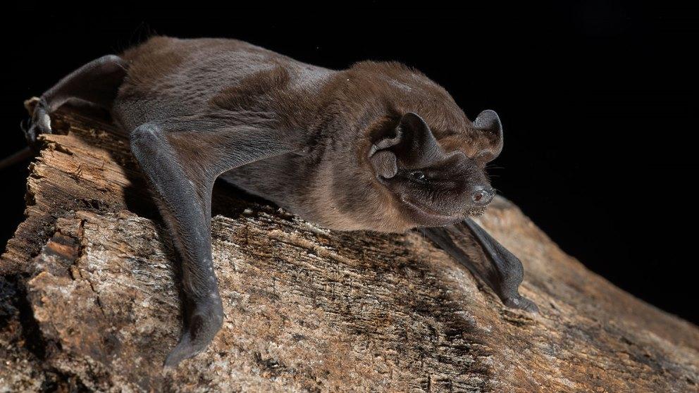 Pequeño pero muy veloz, así es el murciélago cola de ratón